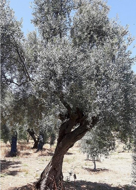 Bildergebnis für Olivenöl Destillation, kostenlosen  bilder